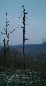 Dead and dying trees are plentiful on the Tuscarora ridge.