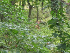 A curious fawn stares at us through the brush, only about 20 yards away.