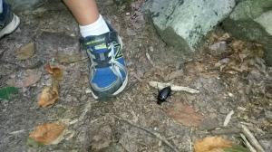 Found this gargantuan dead beetle near a spring along the trail.