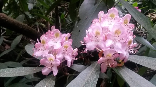 Rhododendrons were in full bloom.