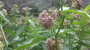 The milkweed blooms attracting bees and butterflies.