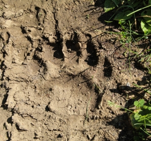 Ran across some bear tracks in the mud along the trail.